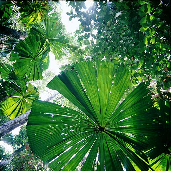 Umbrella Palm, FNQ, Artistic Photography